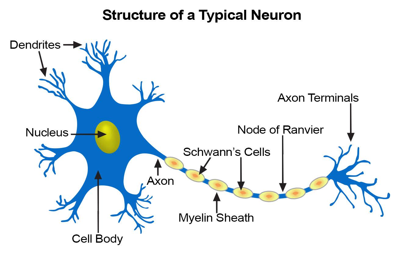 basic neuron structure
